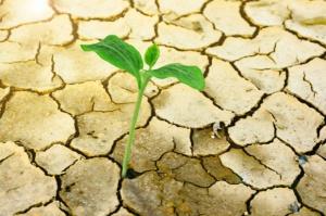 MRIRW: Z oceną wpływu suszy na wielkość produkcji upraw należy poczekać do końca września
