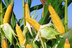 Komisja Europejska tnie prognozy zbiorów kukurydzy w UE