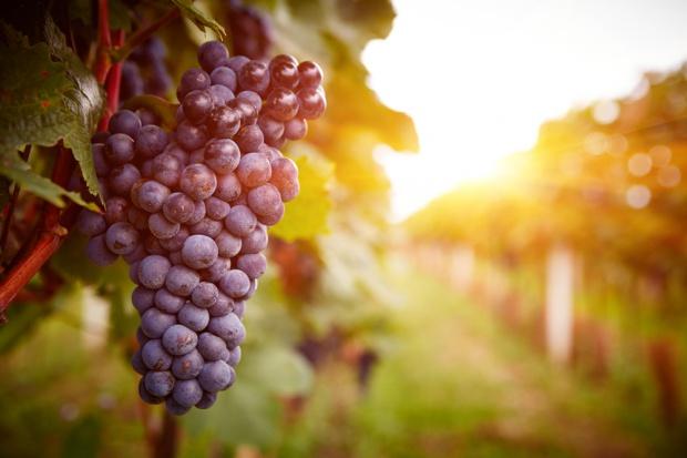 Wczesne winobranie we Włoszech