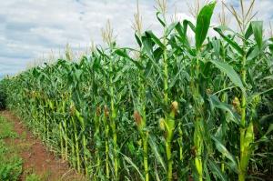 Światowa produkcja kukurydzy niższa o 2 proc.
