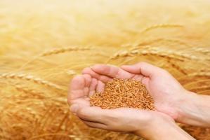 GUS:  Wzrosły ceny wszystkich gatunków zbóż w 2015 r.