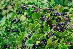 Sanepid skontrolował plantacje czarnych porzeczek pod kątem bezpieczeństwa żywności