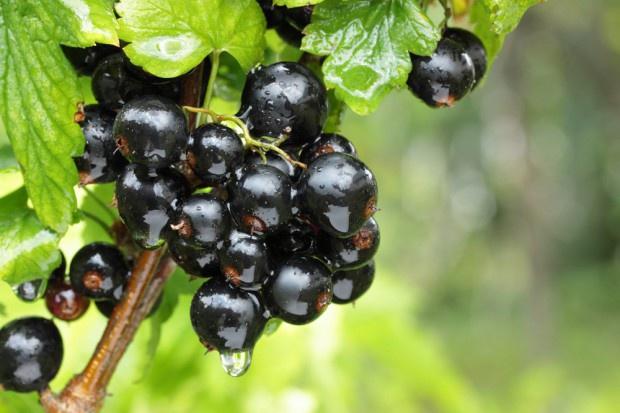 Rząd chce dać 600 zł/ha rolnikom uprawiającym czarną porzeczkę
