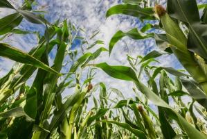 Susza uderza w kukurydzę