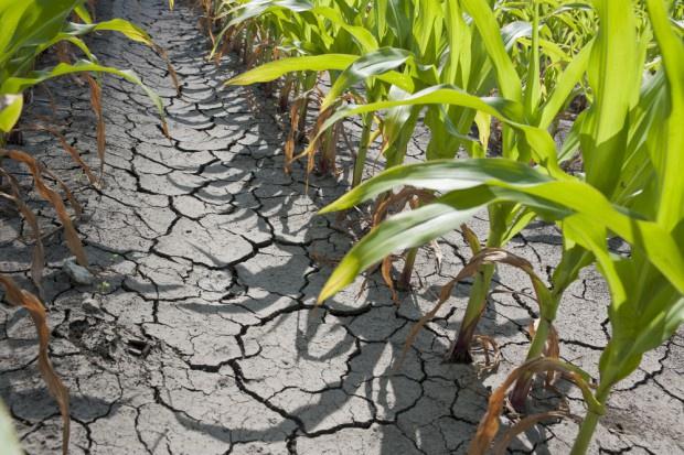 Straty w rolnictwie z powodu suszy mogą wynosić nawet 20-30 mld zł