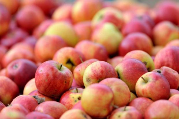 Jabłka przemysłowe za więcej niż 40 gr/kg? Sezon skupu ruszył pełną parą