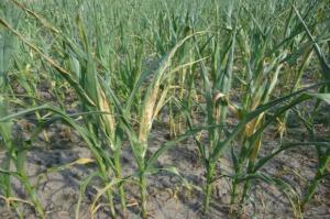 Ponad 7 mln zł strat podkarpackich rolników z powodu suszy