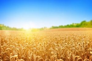 Zbiory zbóż w Polsce lepsze od wcześniejszych prognoz