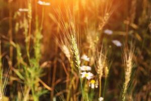 Ostra konkurencja w eksporcie pszenicy