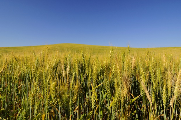 Zbiory zbóż niższe o 8 proc.