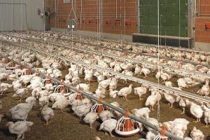 Produkcja drobiu w Brazylii wzrośnie