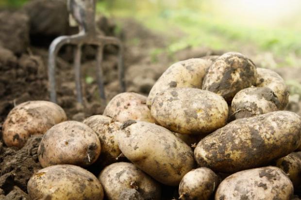 Mniejsze zbiory ziemniaków na Ukrainie