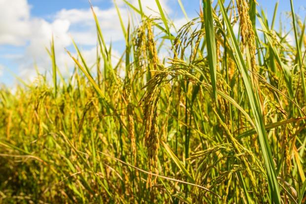 Wzrosły ceny zbóż w Unii Europejskiej