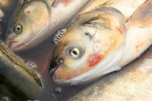 Czy sprzedaż żywych ryb w Polsce przejdzie do historii?