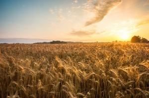 Rekordowy eksport zbóż w sezonie 2014/15