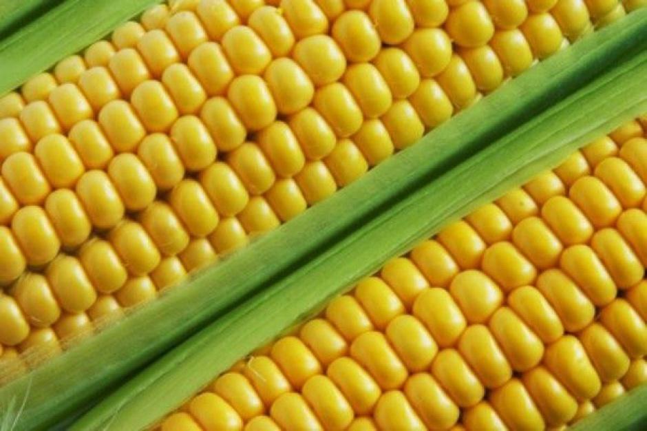 Wzrosną zbiory pszenicy, spadną kukurydzy