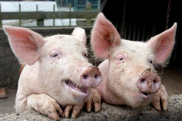 Polska produkuje coraz mniej świń