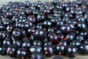 Producenci czarnej porzeczki mogą starać się o wsparcie do końca września