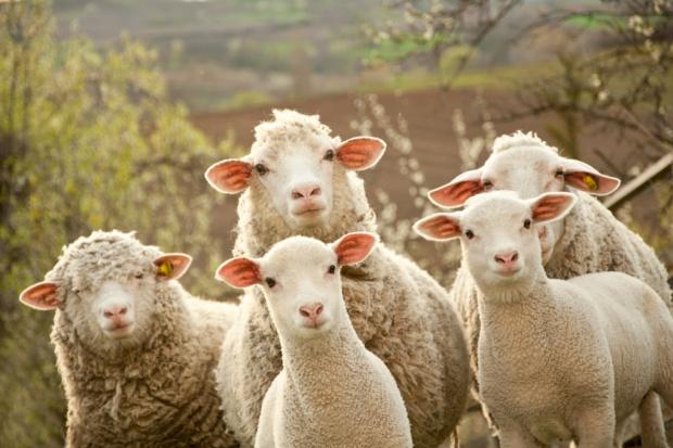 Kończy się wypas owiec