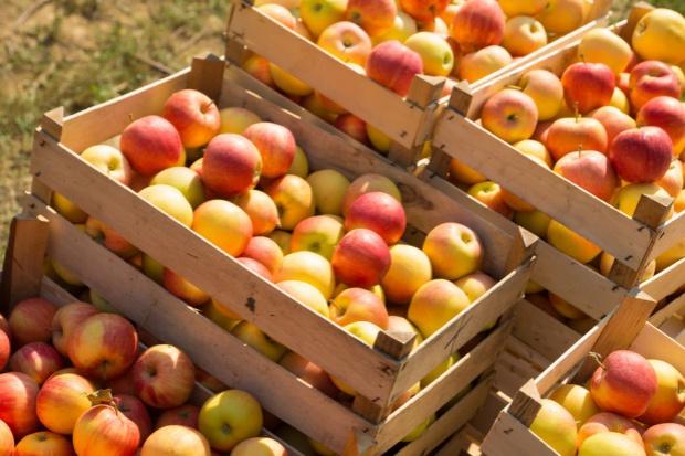 Chińscy inspektorzy oceniają polskie jabłka