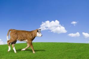 Czy polskie byczki opasowe pojadą do Algierii?