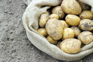 Susza wpłynęła również na zbiory ziemniaków. Spadek o 19 proc. rdr