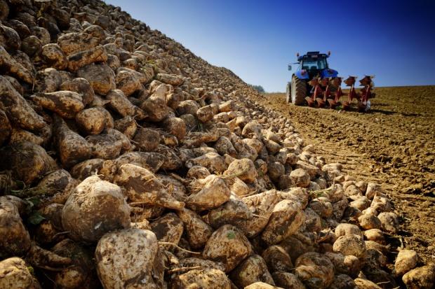 Szacunek GUS: Zbiory buraków cukrowych mniejsze o 41 proc. Przez suszę