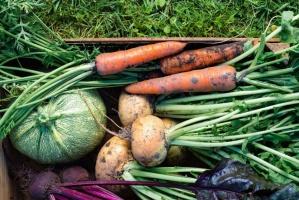Szacunki GUS: W tym roku zbiory warzyw gruntowych będę mniejszy niż rok temu. Winna susza!