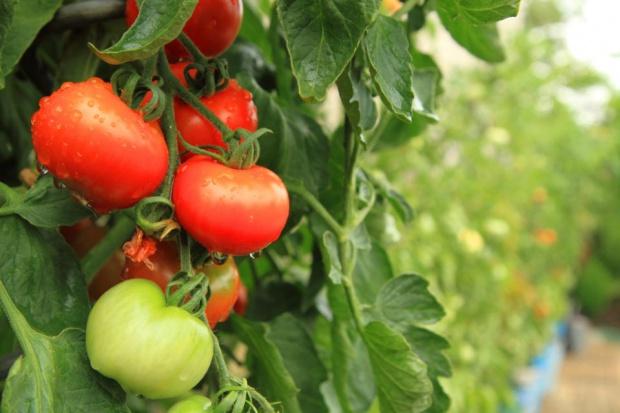 Maciej Mularski: Rośnie znaczenie produkcji pomidorów pod osłonami