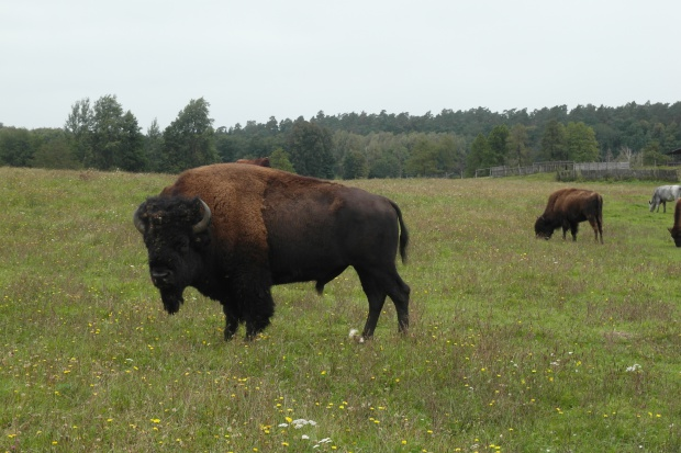 Jest porozumienie hodowcy bizonów z Kurozwęk z resortem środowiska