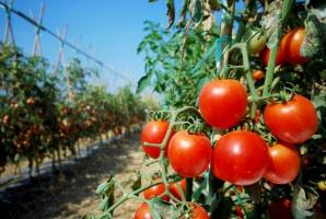 W Połańcu ruszy duża inwestycja w szklarnie do produkcji pomidorów