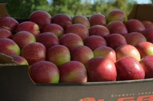 Importowane jabłka to duża konkurencja dla chińskiej produkcji