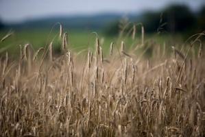 Na świecie urodzaj pszenicy, mniej kukurydzy