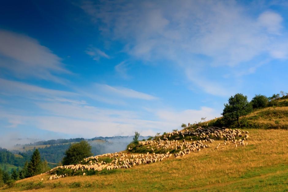 Owce będą wypasane na wałach przeciwpowodziowych