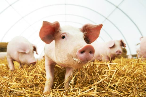 Składanie wniosków o dofinansowanie produkcji prosiąt i bydła do 17.11