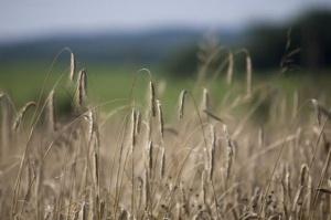 Analitycy Tallage:Zbiory pszenicy w UE w 2015 r. były rekordowo wysokie