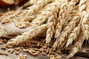 Zbiory pszenicy we Francji biją wszelkie rekordy