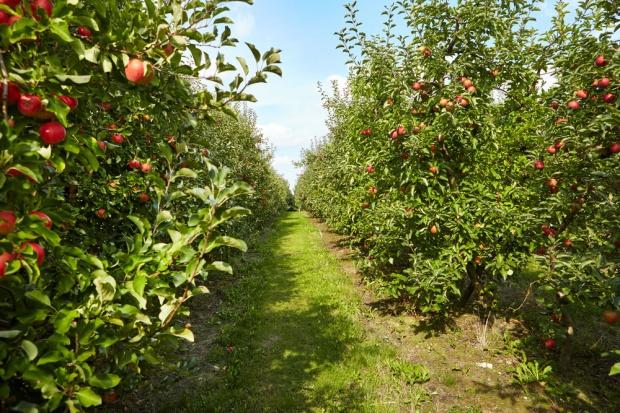 Cydr jednoodmianowy mógłby powstać także z jabłek Malinówka