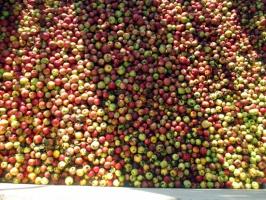 Ceny jabłek w skupach wahają się między 45-59 gr/kg
