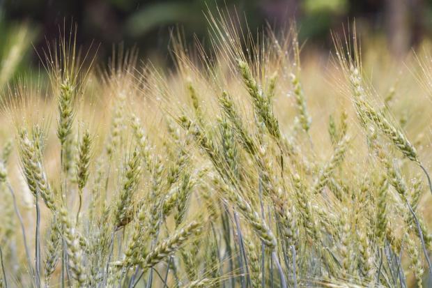 Ponowne wzrosty ceny zbóż