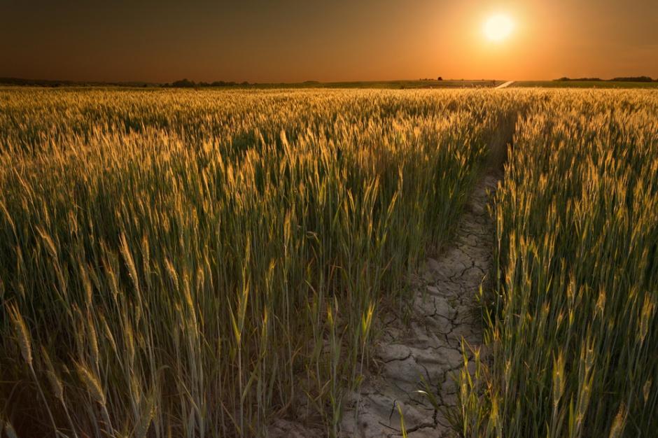 Mars podwyższył szacunki plonów zbóż