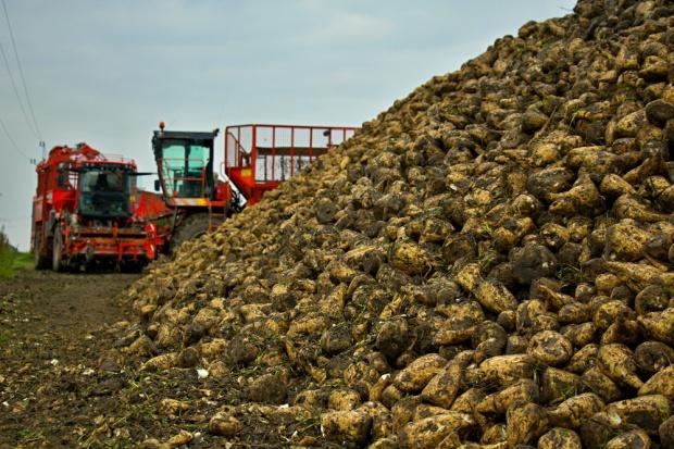 Zbiory buraków cukrowych w UE będą mniejsze