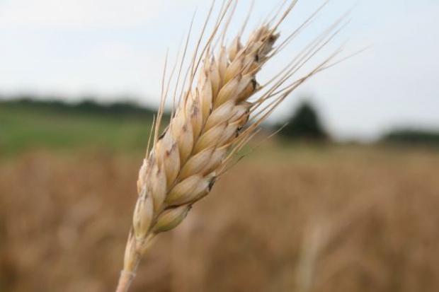 Mniejszy eksport zbóż z Ukrainy