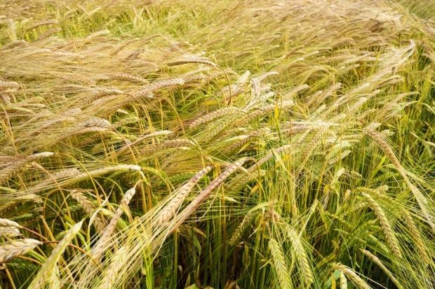 Rolnicy tanio zboża nie sprzedadzą