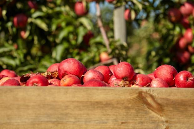 Sezon jabłkowy zapowiada się obiecująco
