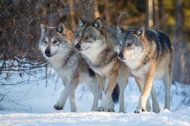 Polscy hodowcy owiec obawiają się zakazu polowań na wilki