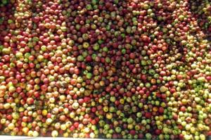 Rośnie produkcja jabłek w Chinach