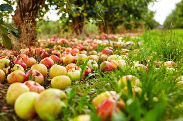 Spadają ceny skupu jabłek przemysłowych