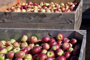 Kto jest odpowiedzialny za spadek cen skupu jabłek?