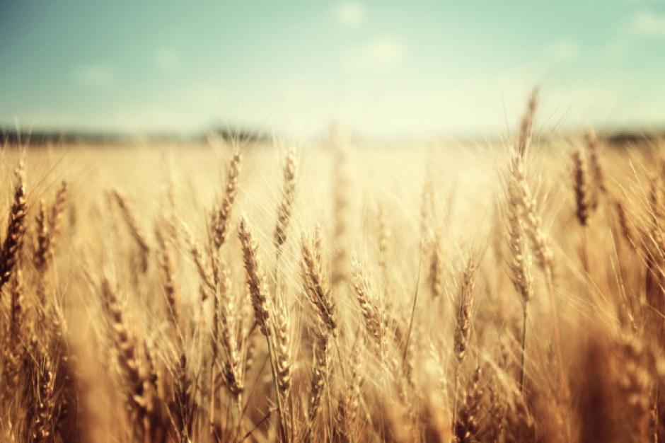 W bieżącym sezonie za granicę sprzedajemy mało pszenicy